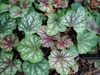 �urawka Heuchera 'Colour Beauty'