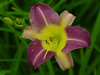Liliowiec Hemerocallis 'Bill Sharmon'