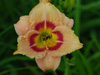 Liliowiec Hemerocallis 'Buffys Doll'