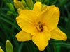 Liliowiec Hemerocallis 'By Myself'