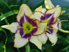 Liliowiec Hemerocallis 'Destined to See'