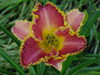 Liliowiec Hemerocallis 'Heavenly Pink Fang'