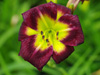 Liliowiec Hemerocallis 'Night Beacon'