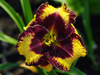 Liliowiec Hemerocallis 'Open My Eyes'