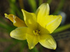 Liliowiec Hemerocallis 'Secured Borders'