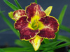 Liliowiec Hemerocallis 'Storm of the Century'