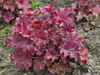 �urawka Heuchera 'Berry Smoothie'