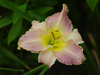 Liliowiec Hemerocallis 'Clothed in Glory'