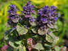 Ajuga reptans PARTY COLORS