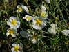 Pos�onek Helianthemum hybrida 'The Bride'
