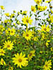 S�onecznik Helianthus microcephalus 'Lemon Queen'