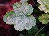 �urawka Heuchera 'Picotty'