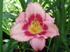 Liliowiec Hemerocallis 'Strawberry Candy'