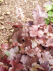 �uraweczka Heucherella 'Burnished Bronze'