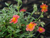 Pos�onek Helianthemum hybrida 'Fire Dragon'