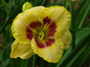 Liliowiec Hemerocallis 'Custard Candy'