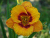 Liliowiec Hemerocallis 'Tigerling'