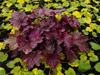 �urawka Heuchera 'Midnight Rose'