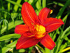 Liliowiec Hemerocallis 'Christmas Is'