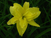 Liliowiec Hemerocallis 'Double River Wye'