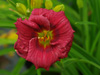 Liliowiec Hemerocallis 'Little Business'
