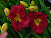 Liliowiec Hemerocallis 'Siloam Paul Watts'
