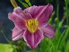 Liliowiec Hemerocallis 'Prairie Blue Eyes'