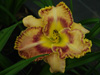 Liliowiec Hemerocallis 'Sink Into Your Eyes'