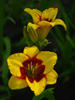 Liliowiec Hemerocallis 'Summer Dragon'