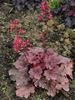 �urawka Heuchera 'Cherry Cola'