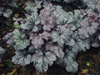 �urawka Heuchera 'Plum Royale'